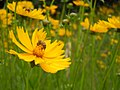 Bee on Coreopsis lanceolata — Stilgherrian 001.jpg