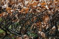 Beech hedge in winter at Nuthurst, West Sussex, England 01.jpg