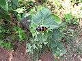 Beetle-35-yercaud-salem-India.jpg
