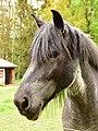 Belgian draft horse (41735902232).jpg