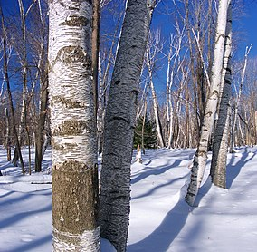 The trunks of many trees with white bark poke up through snow. The trees are leafless against a bright blue sky, sunshine shows dark patterns on their bark.