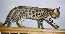 race de chat bengale