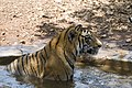 Bengal tiger bathing, Karnataka, India (464041152).jpg