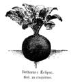 Betterave Eclipse Vilmorin-Andrieux 1904.png