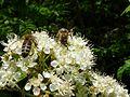 Bienen auf Ebereschen-Blüte.jpg