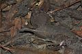 Big-headed Frog (Limnonectes fujianensis) 大頭蛙.jpg
