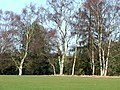 Birch Trees on Enville Golf Course, Staffordshire - geograph.org.uk - 678326.jpg