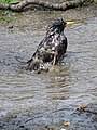 Bird Bathing in Puddle - Roosevelt Island - New York City - USA (41147017325).jpg