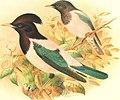 Birds of Great Britain and Ireland (1907) (14568595129).jpg