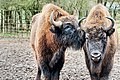 Bison kiss - Whipsnade Zoo (32376409793).jpg