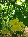 Bitter gourd inflorescence.jpg