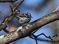 Black-and-white Warbler (documentation photos) (46346268501).jpg