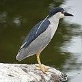 Black-crowned night heron (48109067122).jpg