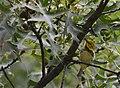 Black-throated Green Warbler (31333064658).jpg