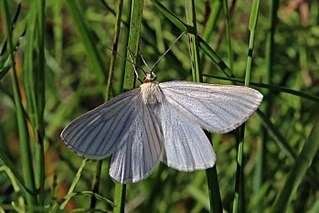 <i>Siona lineata</i> Species of moth