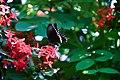 Black Butterfly in flower.jpg