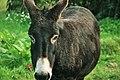 Black Donkey (120769659).jpeg