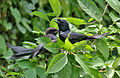 Black Drongo (Dicrurus macrocercus)- Adult with Immature at Kolkata I IMG 9018.jpg