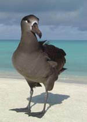 Kilauea Point National Wildlife Refuge - Black-footed albatross - Kilauea Point NWR