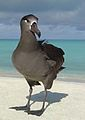 Black Footed Albatross - Kilauea Point NWR.jpg