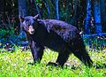 Black bear - near Summit Lake (5856965817).jpg
