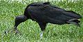 Black vulture - Coragyps atratus.JPG