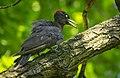 Black woodpecker (51312018502).jpg