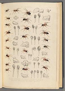 <i>Trichoncus</i> Genus of spiders