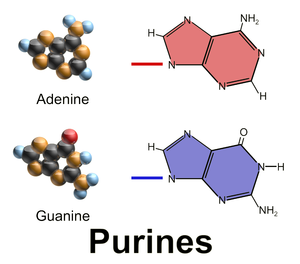 Nucleobase - Purine nucleobases are fused-ring molecules.
