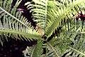 Blechnum gibbum 0zz.jpg