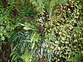 Blechnum patersonii queenslandicum (R.Br.) Mett. (AM AK297720).jpg