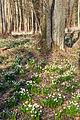 Bledule jarní v PR Králova zahrada 34.jpg