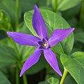Bloem van Vinca major subsp. Hirsuta. 10-04-2020 (d.j.b.) 01.jpg