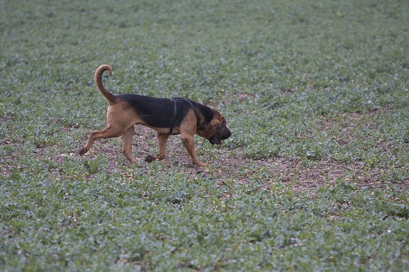 Perro de San Huberto olfateando