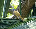 Blue-faced Honeyeater. Male. Entomyzon cyanotis - Flickr - gailhampshire.jpg