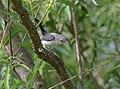 Blue-gray Gnatcatcher (juvenile) (34774395094).jpg