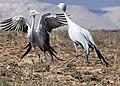 Blue Cranes (Anthropoides paradiseus) parading (29959840901).jpg