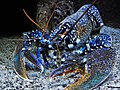 Blue lobster (Homarus gammarus) in blue.jpg