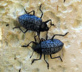 Blue pleasing fungus beetles (3582116778).jpg