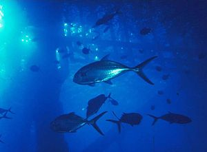 Blue runner - A shoal of blue runner under an oil platform in the Gulf of Mexico