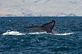 Blue whale tail.JPG