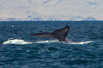 Blue whale - A blue whale lifting its tail flukes