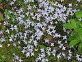 Bluets (Houstonia caerulea) Hedyotis caerulea.jpg