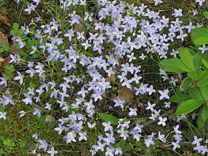 Houstonia (plant) - Houstonia caerulea