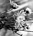 Blumen (s-W).jpg