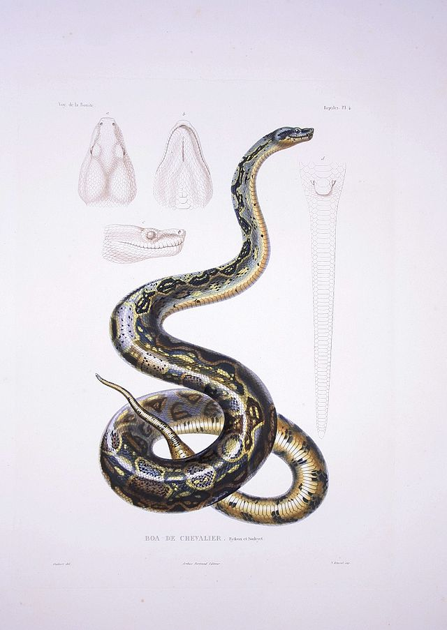 Boa Constrictor Wikiwand