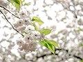Bokeh of Blossoms (39875814930).jpg