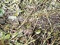 Bombina variegata07.jpg