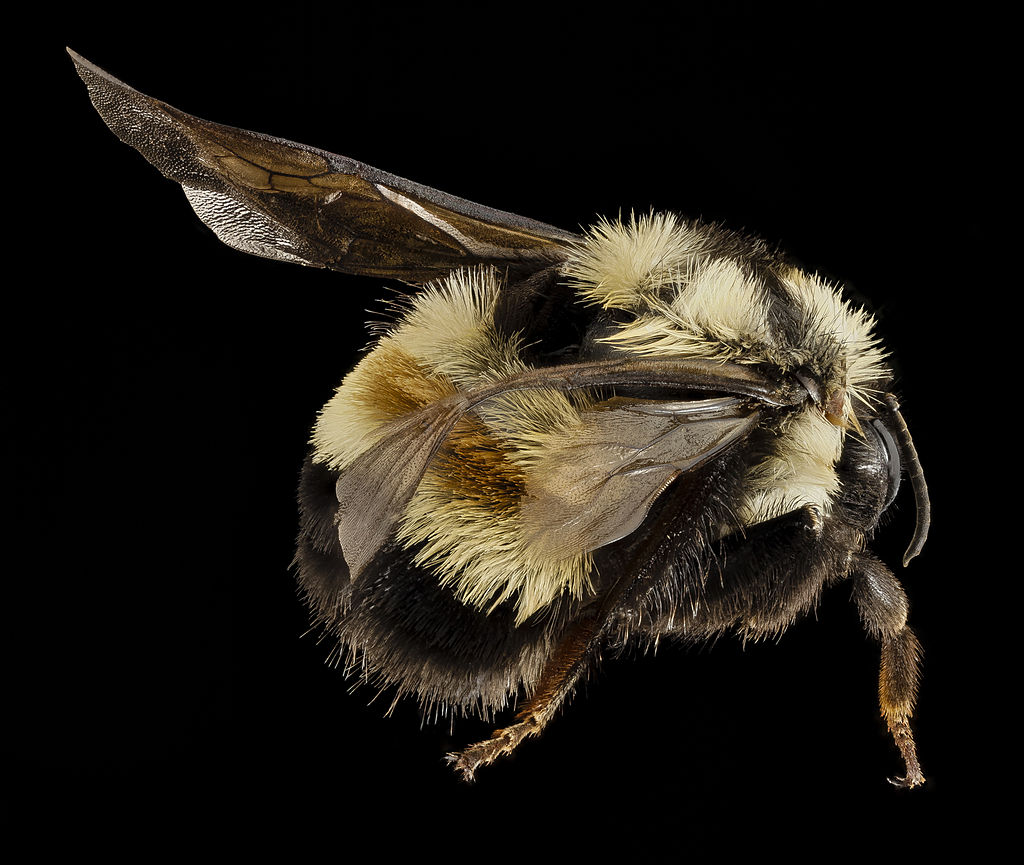 Bombus affinis, F, Sky meadows sp, virginia, back 2014-09-22-17.48.35 ZS PMax (15355684055)
