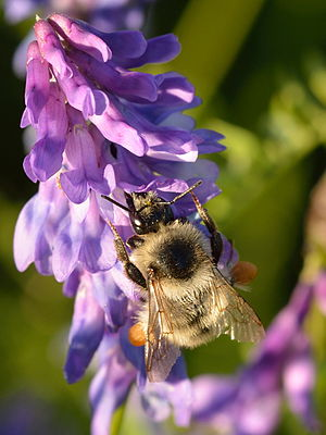 Vicia cracca - With Bombus sylvarum